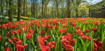 Tulips Garden centre